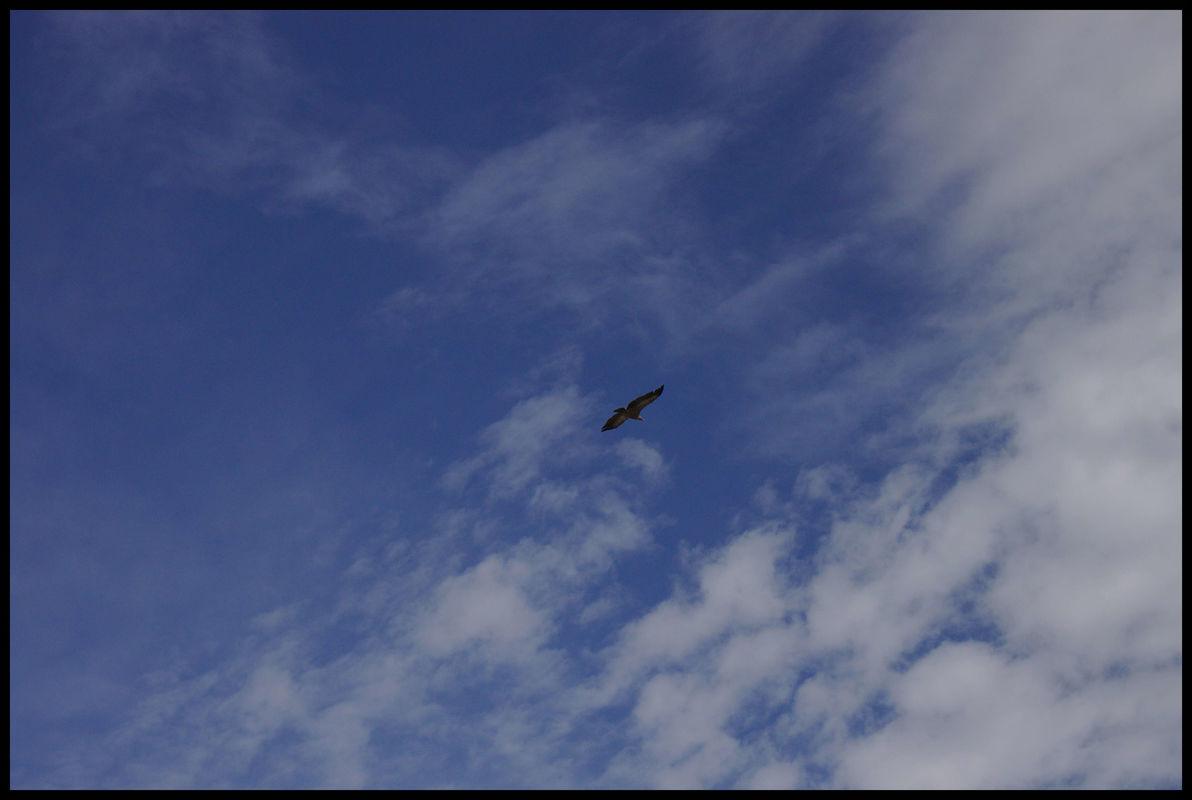 Les vautours fauves ne passent pas loin