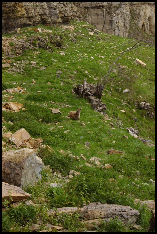 Un cabri qui nous a tranquillement regardé remplir ma poche à eau à la source. On ne l'a vu que lorsqu'on partait.